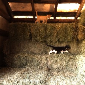 hay.barn.cats
