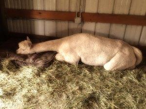 alpaca.pillow