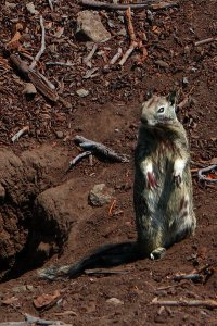 Standing zombie squirrel.