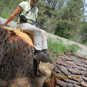 """Karen with yet another old growth ponderosa deemed a """"hazard tree"""""""" and sold"""