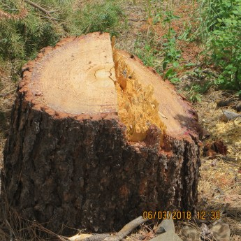 The presence of sap on the stumps shows they were living when cut