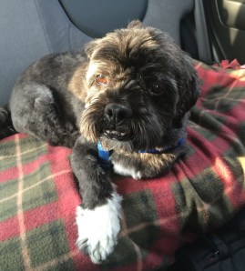 Chewy in the car