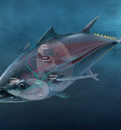 the internal physiology of a bluefin tuna matters just as much as its hardware as seen in the above diagram red muscle makes up for a significant part of  [ 1024 x 768 Pixel ]