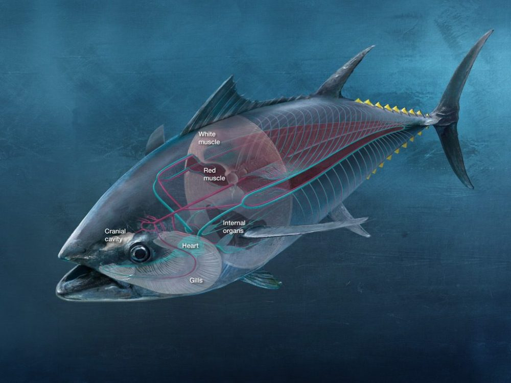 medium resolution of the internal physiology of a bluefin tuna matters just as much as its hardware as seen in the above diagram red muscle makes up for a significant part of