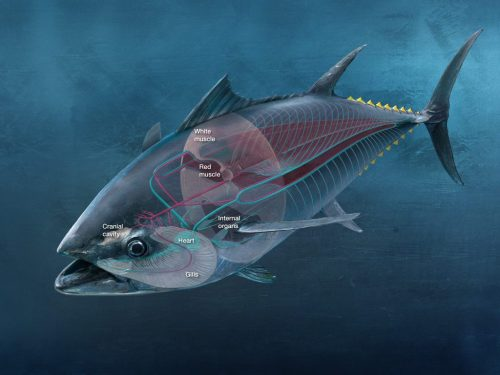 small resolution of the internal physiology of a bluefin tuna matters just as much as its hardware as seen in the above diagram red muscle makes up for a significant part of