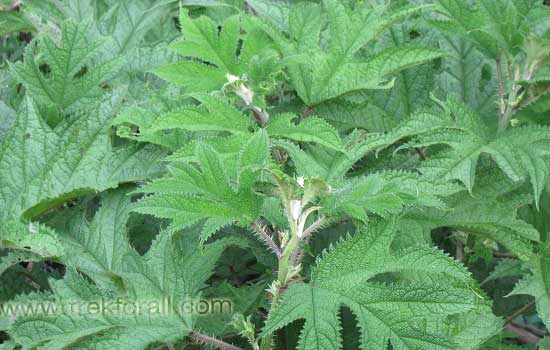 Girardinia Diversifolia, This plant is highly stinging and causes rashes on skin.
