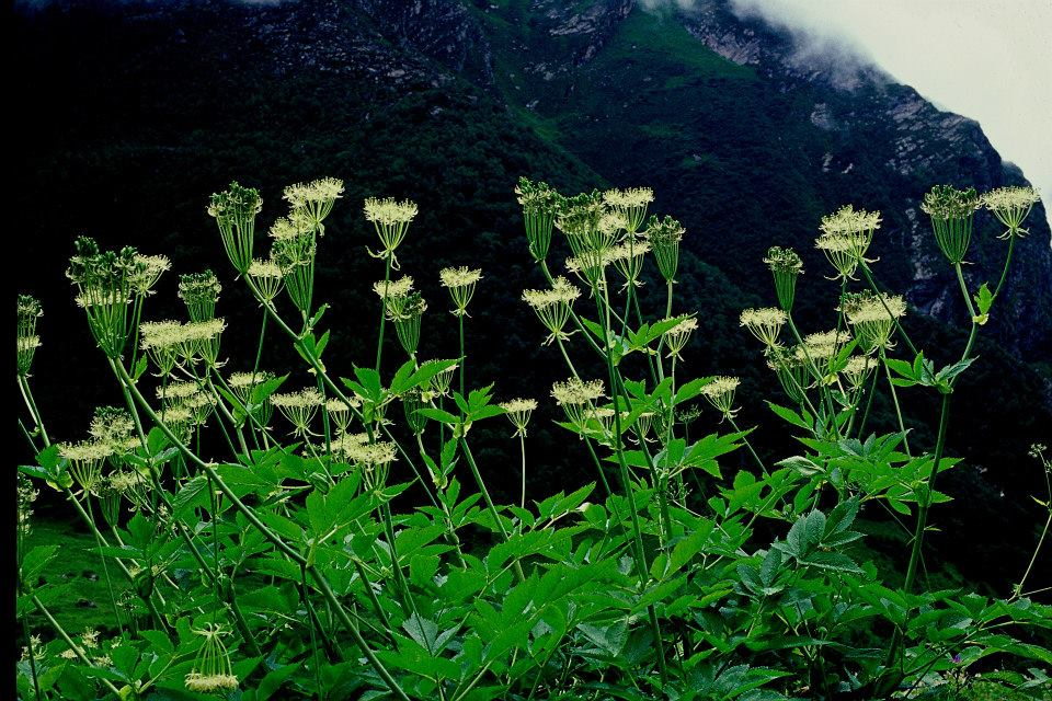 Heracleum Lallii in Valley of Flowers