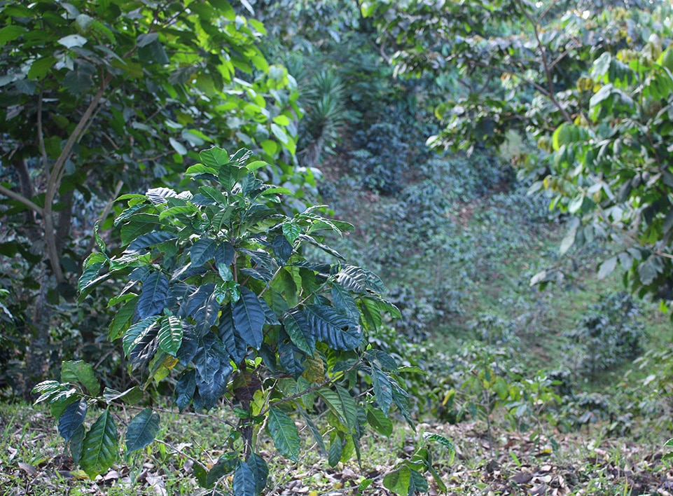 A young coffee tree in the Blue-Bird section of Finca Esperanza.