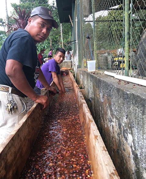 Floating cherries to separate less dense coffee.