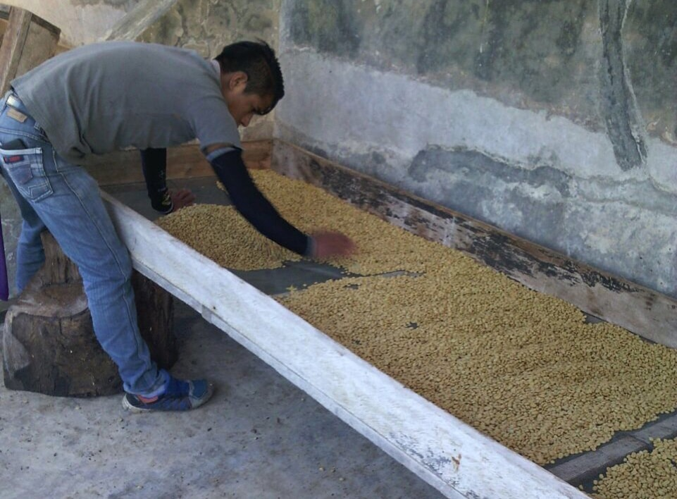 Drying the coffee on raised beds.