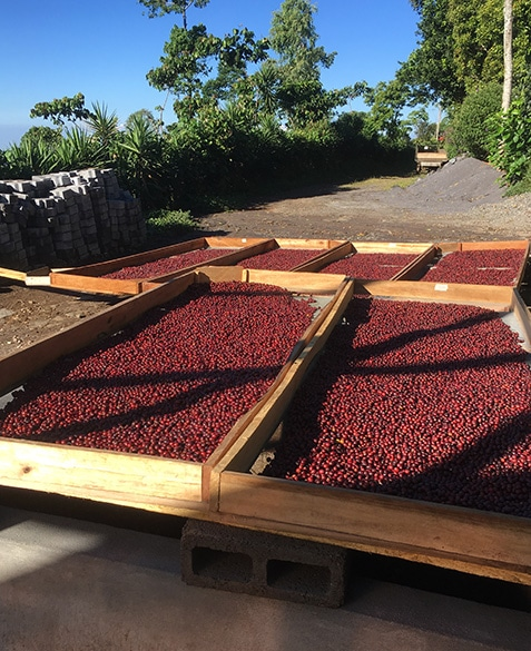 natural process coffees fresh off the tree and ready to enter the drying house