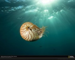 Primitive nautilus?