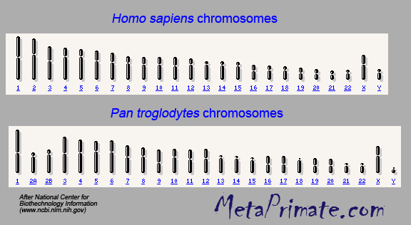 THE COMPARISON OF THE CHROMOSOMES OF MAN AND CHIMP LOOK MEANINGFUL. At the molecular level, the instructions are very different.