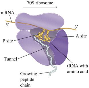 The over all function of the ribosome is to translate the RNA sequence into a protein sequence.