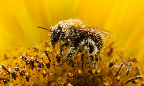 A-bee-collects-pollen-fro-007