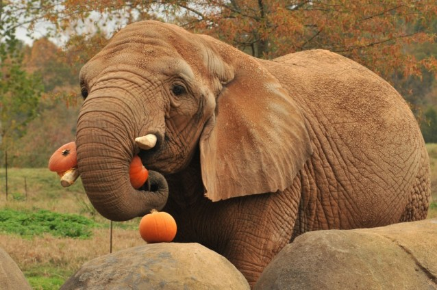 Elephant-pumpkin-Flickr-Valerie