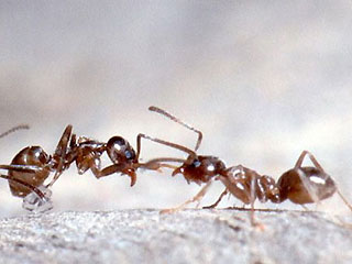 fighting_ants