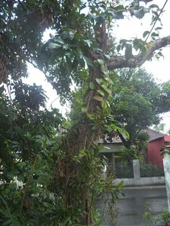 Anggrek Dan Inangnya : anggrek, inangnya, Anggrek, Pohon, Inang:, Selektif, Memilih, Teman, Hidup, Bluepurplegarden