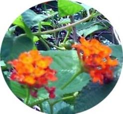 Lantana Oranye1