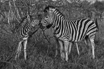 blog zebra tender black & White pub dom zoo animals