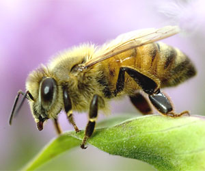 https://i0.wp.com/blueribbonnews.com/wp-content/uploads/2012/04/honey-bee.jpg