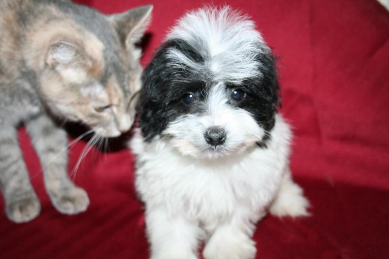 Blue Ridge Bichons and Havanese  Available Havachon Puppies