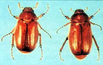 Chafer Beetle strikes Blueridge