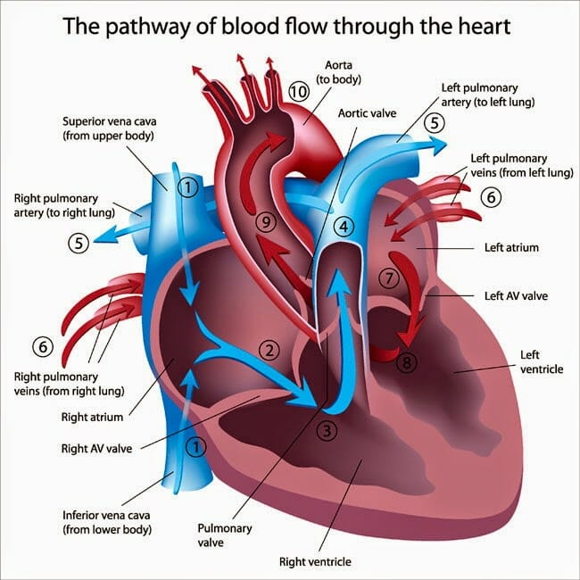 Acupuncture Improves Heart Function - Blue Ridge Acupuncture Clinic
