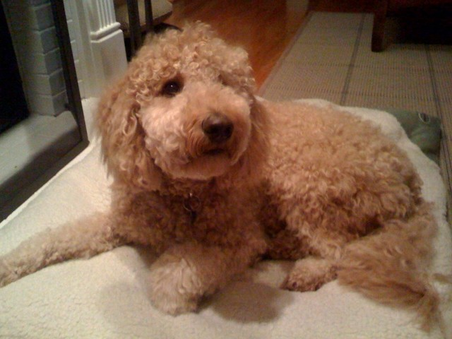 Petite Goldendoodle - Great Pet in the Perfect Size