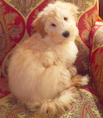 Rocky-1--mini-Goldendoodle