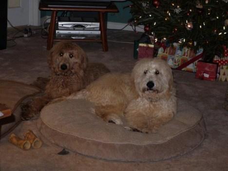 Charlie_and_Oliver_goldendoodles