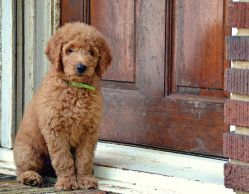 Chatham_Battles_f1b_red_goldendoodle