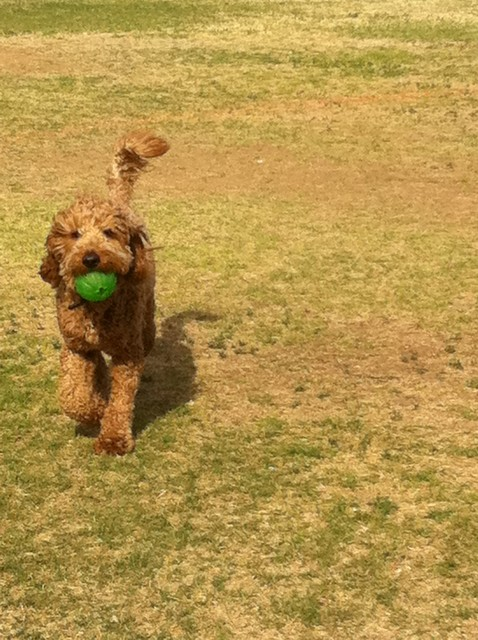 PlayingBall_Teddy_Lee_F1b_goldendoodle