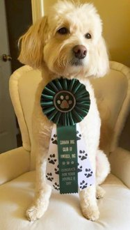 Parris-mini-goldendoodle-double-QQ-in-agility