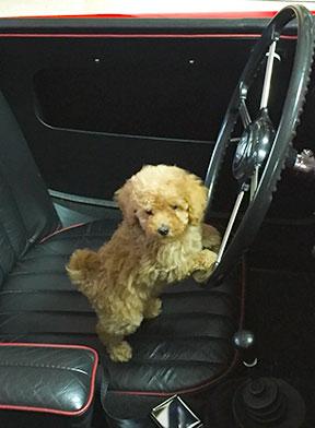 denver---Goldendoodle-toy-puppy