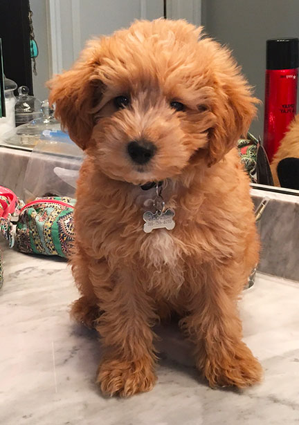 Why Goldendoodles Are Such A Hit On Instagram