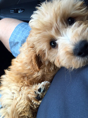 mini-apricot-goldendoodle-George--3