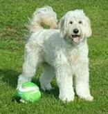 murfreee-Goldendoodle-from-BlueRidge-goldendoodles