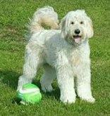murfreee-Goldendoodle-from-BlueRidge-goldendoodles