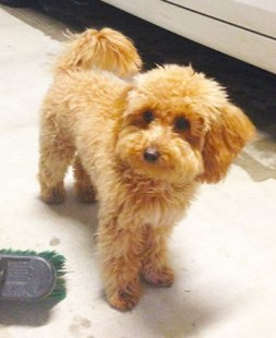pippi-toy-mini-goldendoodle-2