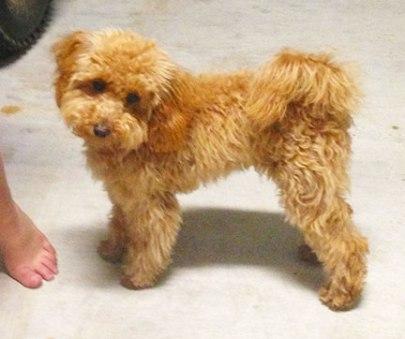 pippi-toy-mini-goldendoodle