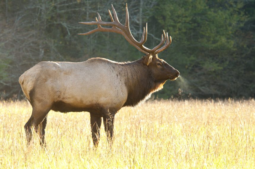 Bull Elk in Great Smoky Mtns National Park by Betty Shelton