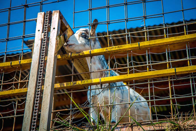 Goat at a feeding station at Goats On The Roof Roadside Attraction