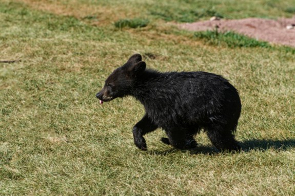 A black bear cub in Floyd County, Virginia.