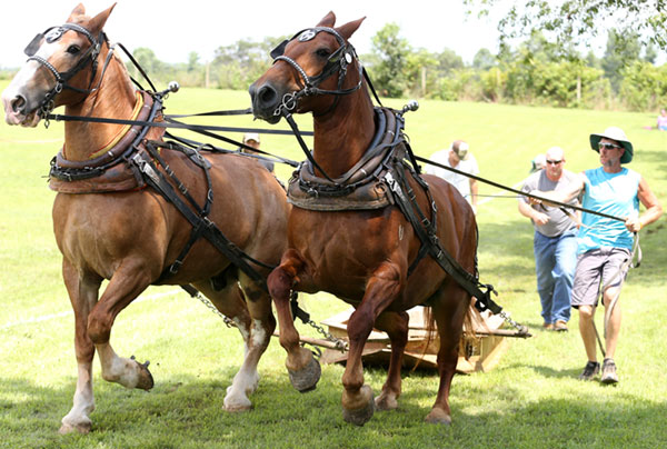 Horse pull underway.