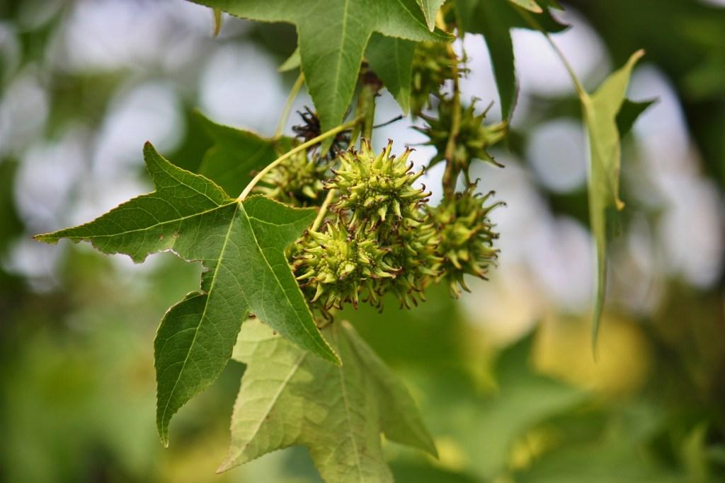Sweetgum Leaves Charlotte NC
