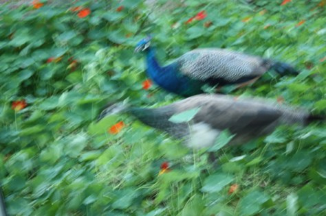 peafowl running