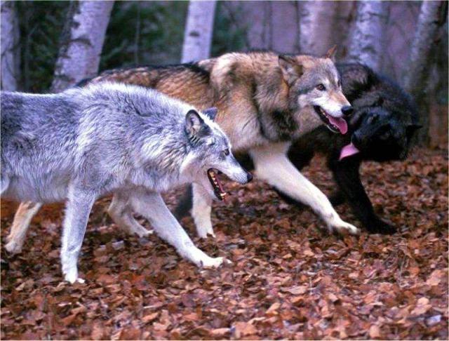 wolf 085 - Что делать при встрече с животными в походе