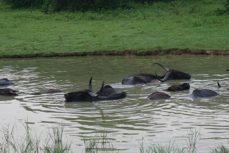 water buffalo in Yala National Park Safari, Tissamaharama, Sri Lanka, Blue Sky and Wine