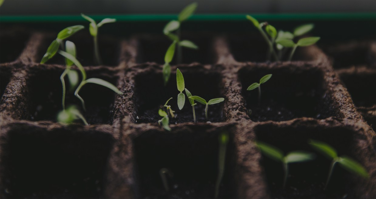Seedlings emerging from soil, highlighting BlueSky Organics Healthy Soil for Cannabis